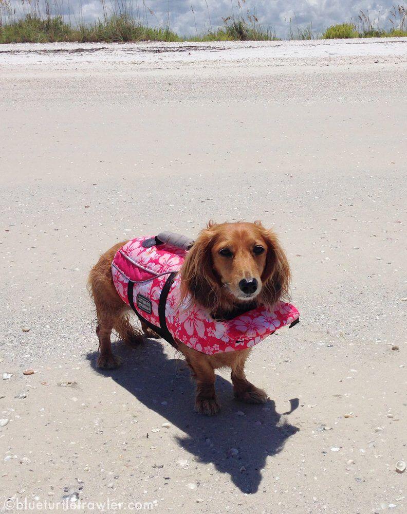 dachshund on beach in life jacket